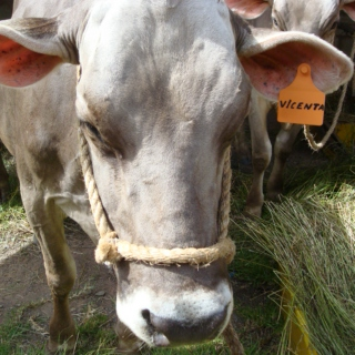 Relax and chew like a cow from Perú