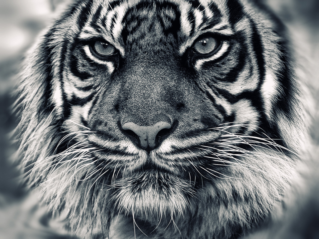 Fierce White Tiger With Blue Eyes Fierce White Tiger For When
