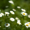 Have A Daisy Day