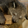 Songs to Soothe the Inner Binturong