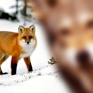 For a Red Fox.