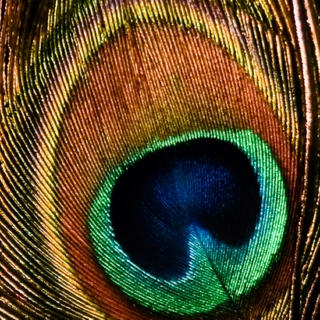 songs about peacock feathers.