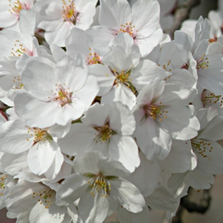 15 Cherry blossoms