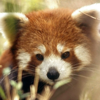 Red Panda March 2012 - Spring Break mix