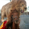 The Rodeo Lion