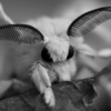 ...a moon moth, folded into sleep sits still