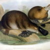 The platypuses