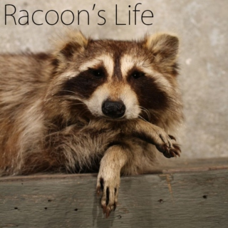 Annie The Racoon Life