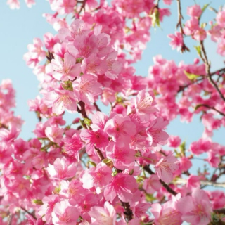 {spring love and cherry blossoms}