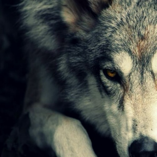 You're a wolf.