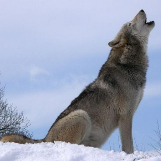 persevere little wolf