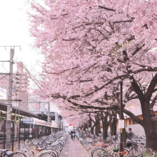 Let's Watch the Cherry Blossoms Together