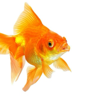 Happy B-Day Goldfish