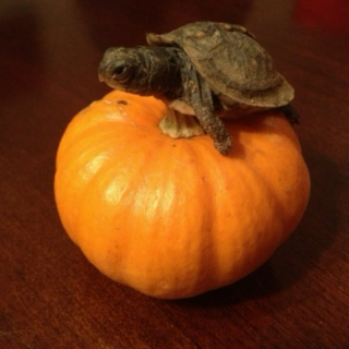 Turtle and Pumpkin <3