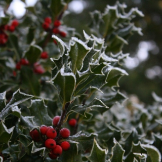 The frost has kissed the holly tree...