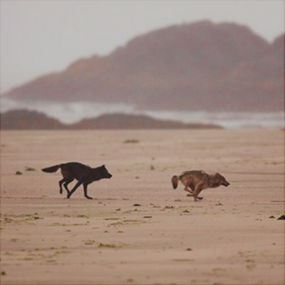Two Wolves and a Dark Desert