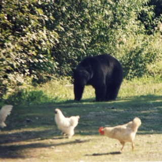 ChickenRun vS MrsGrizzly