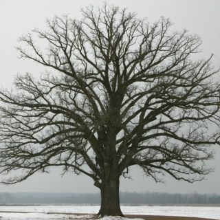 old winter tree