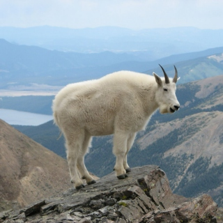 this mountain goat wants you to stay awake