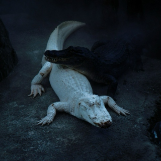 Albino Alligators