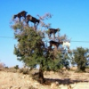 goats_in_trees
