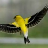 goldenfinches