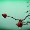 Rain On Wild Rosehips