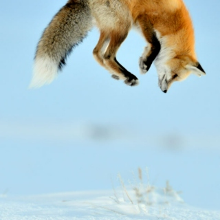 I catch foxes