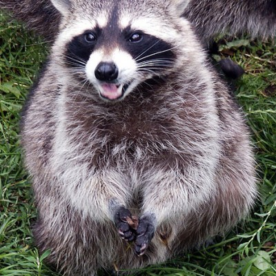 Raccoon Riddim
