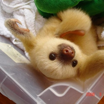 Baby sloths might be the cutest things ever