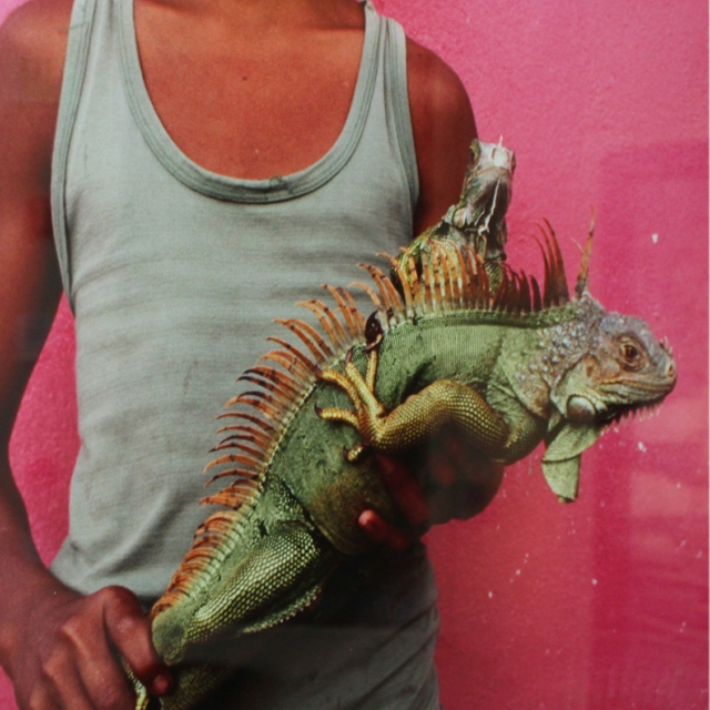 Eating barbecued iguana