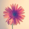 gerberas and grapevines | my writing playlist