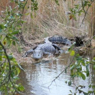 Got Gator? Muddy, Swampy, Bluesy