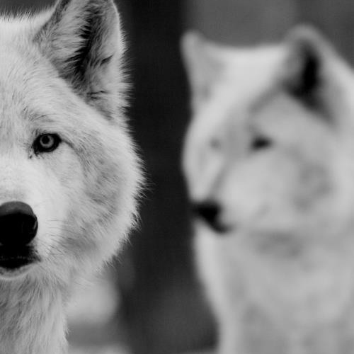 with the wolves.