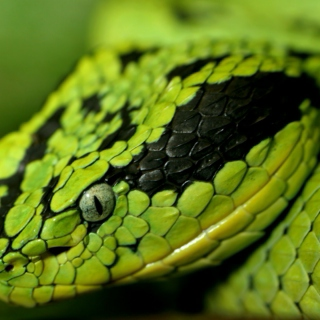 the incredible thing about snakes (or, one in ten: the knuckle-dragger tape)