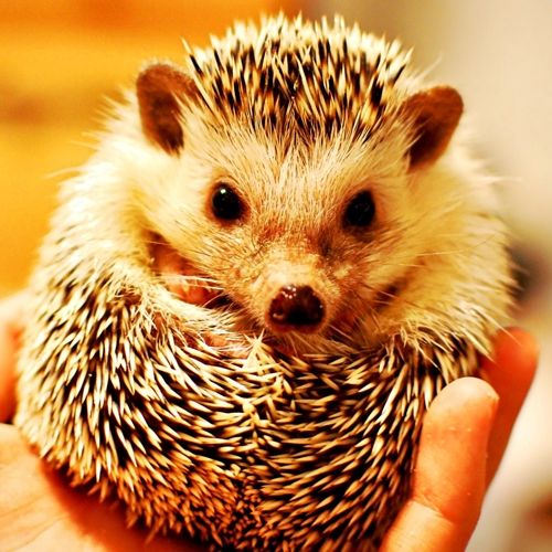 hedgehog love