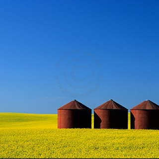 CANOLA FIELDS  #01