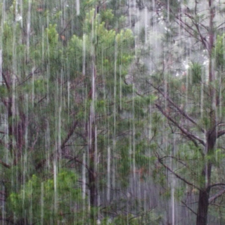 Raindrops on the summer pines