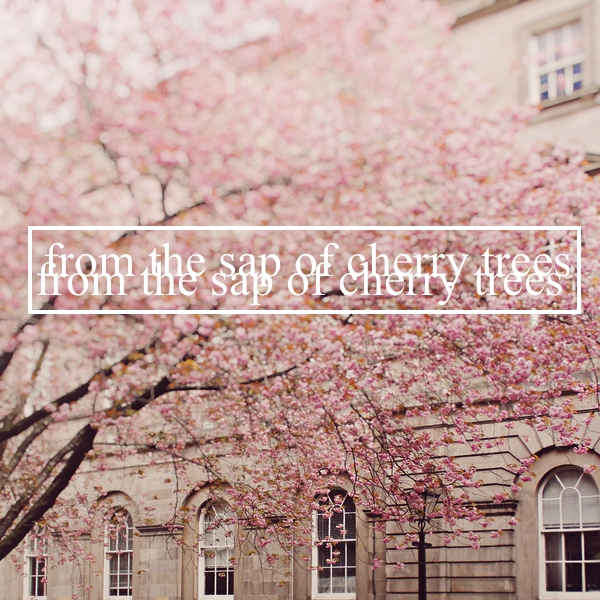 from the sap of cherry trees