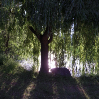 Under the Weeping Willow Tree