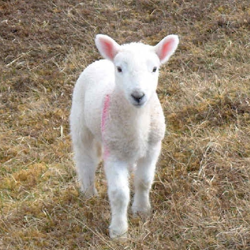 WHITE1 (Ins & Outs of Lambs)