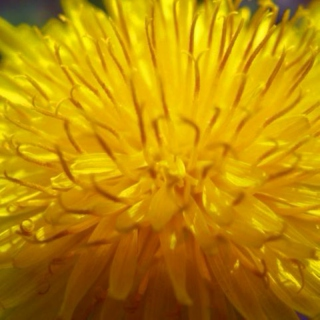 There's Nothing Wrong With Dandelions