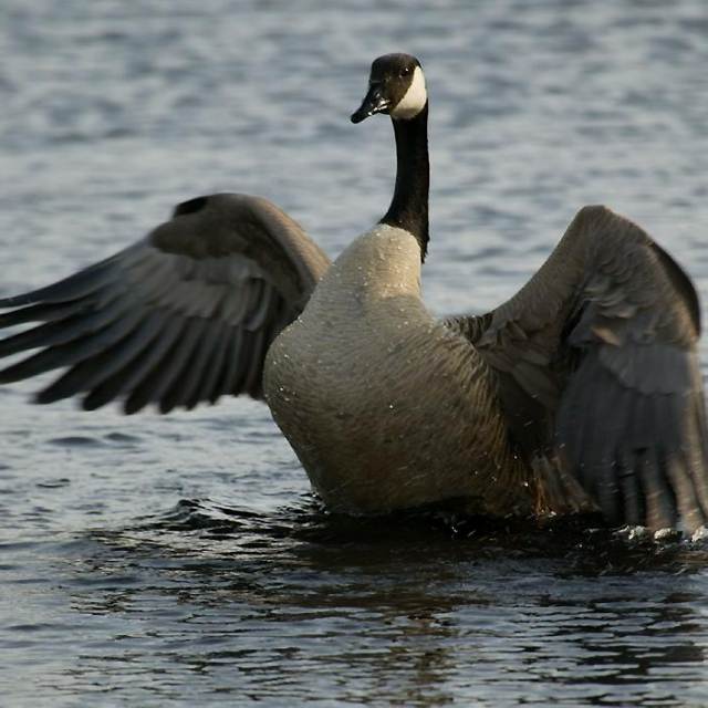 Blame it on the Goose