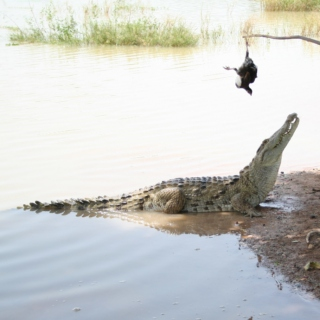 crocodile trapping as a woman's vocation