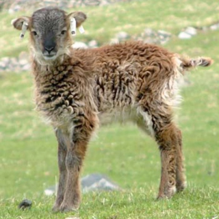 Btrxz's Soay Sheep R Getting  Smaller