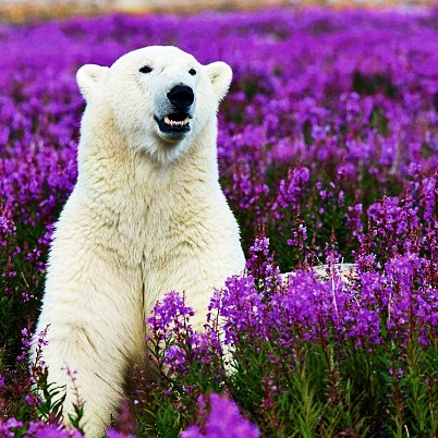 Happy as a polar bear relaxing in spring flowers?