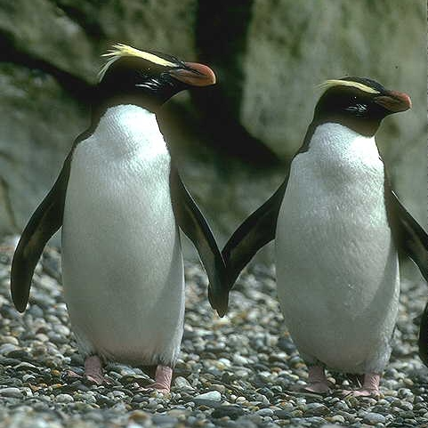 Will you be my Peinguin?