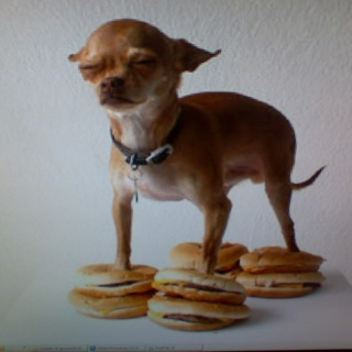 One Small Dog Standing Carefully on Eight 99¢ Cheeseburgers