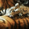 Tiger Tiger. Sleeping tight, In the comfort of the night.