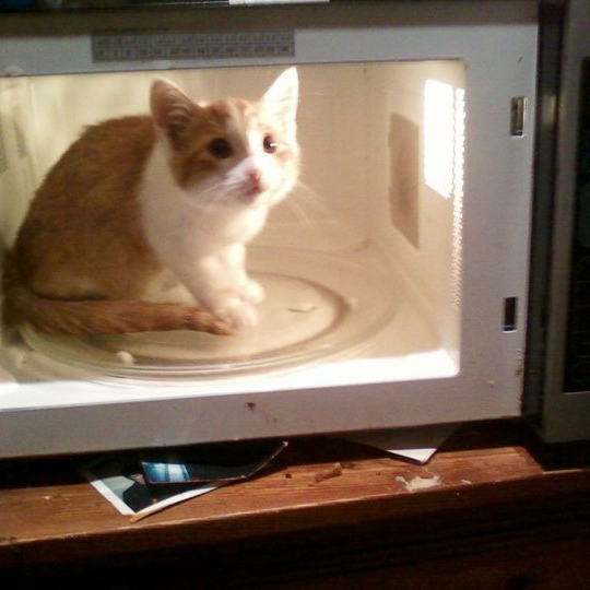 putting a kitten in a microwave